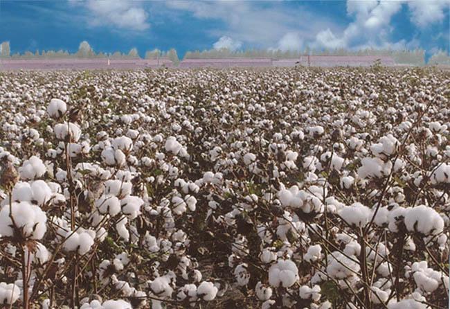棉花什么时间开始收获
